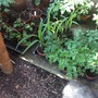 Tomato And Sweetcorn plants(amongst others) hardening off!
