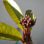Plumeria 'California Sunset' Flower Spike (Plumeria 'California Sunset')