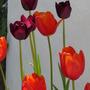 Tulips in the sun 2 (tulip)