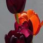 Tulips in the sun 3 (tulip)