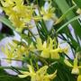 Tiny little Daffs (Narcissi)