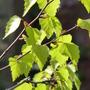Golden Birch (Golden betula)