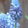 Muscari azureum (Muscari azureum)