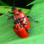Scarlet Lily Beetles ... watch out they are back !