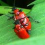 Scarlet_lily_beetle_1