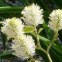 Fothergilla_major
