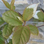 Aktinidia_leaves