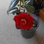 Camellia Bob Hope