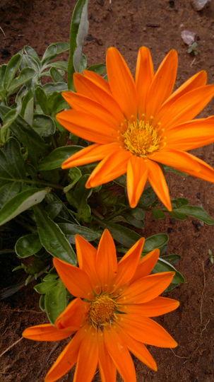 Beautiful orange gazanias to brighten up anyones day
