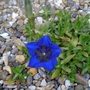 Gentiana_occidentalis_2013