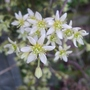 Clematis_x_cartmanii_moonbeam_close_up_2013