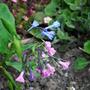 Mertensia virginica (Mertensia virginica)