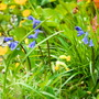 Proper English Bluebells-I think?