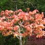 Maple Brilliantissimum In Spring Colour