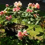 """Rhododendron """"Osbos Low Yellow"""" in a container (rhododendron Osbos Low Yellow)"""