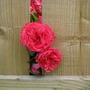 nextdoors roses popping through