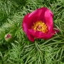 Paeonia_tenuifolia_close_up_2013
