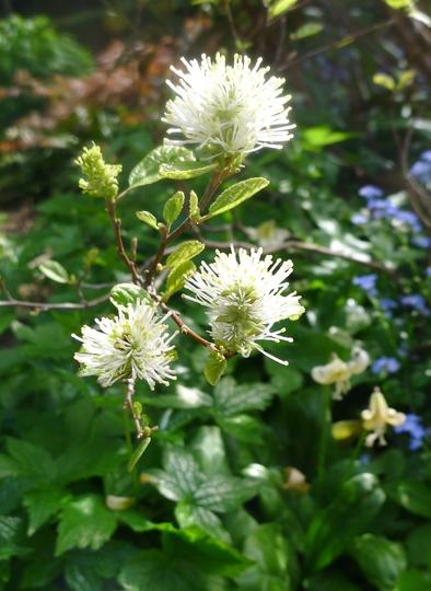 Fothergilla gardenii 'Blue Mist' - 2013 (Fothergilla gardenii)