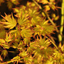 Acer &#x27;Orange Dream&#x27; (Acer palmatum &#x27;Orange Dream&#x27;)