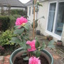 Mother's Day Camellia