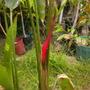 Heliconia stricta 'Jamaican Dwarf' (Heliconia stricta 'Jamaican Dwarf')