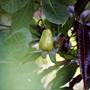 How cashew nuts grow. Spice farm, Goa, India.