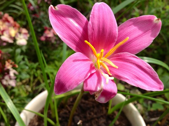 Closer of rain lily (Zephyranthes robusta)
