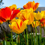 Sunlight thro Tulips2