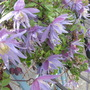 Clematis Maidwell Hall (Clematis macropetala (Clematis))