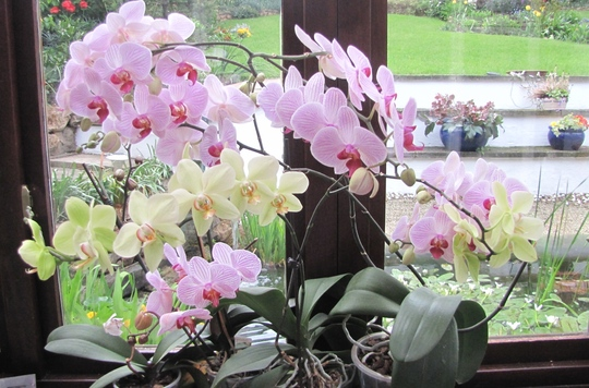 Phalenopsis in the conservatory today.