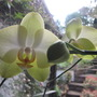 Pale yellow Phalenopsis