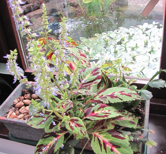 Coleus in the conservatory flowering. (Coleus blumei)