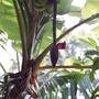 How banana's grow. Spice Farm, Goa, India