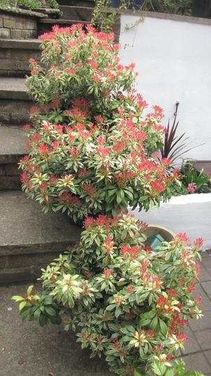 Pieris 'Carnaval' (Pieris japonica (Lily of the valley bush))