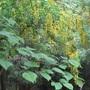 Laburnum in the forest