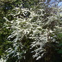 Spiraea Bridal Wreath - for my records (Spiraea prunifolia (Bridalwreath Spiraea))
