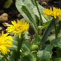 Doronicum 'Little Leo' (Doronicum 'Little Leo')