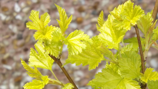 Physocarpus opulifolius Nugget (Physocarpus opulifolius (Ninebark))