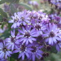 Olearia 'Master Michael' (Olearia x scilloniensis)