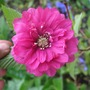 Rubus spectabilis (Rubus spectabile)