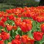 Tulips - Ad Rem - Appeldoorn - Banja Luka - Orange Lion