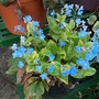unknown plant with blue flowers