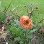 Geum Tequilla Sunrise