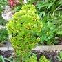 Euphorbia (Euphorbia amygdaloides purpurea.)