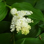 Smilicena racemosa (Smilacina racemosa (False spikenard))