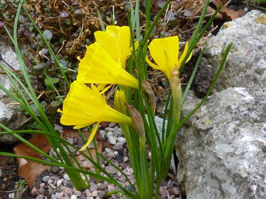 Narcissus bulbocodium (Narcissus bulbocodium)