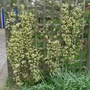 Clematis_x_cartmanii_moonbeam_2_2013