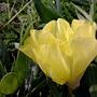 """Evening Primrose """"Yellow Queen"""""""