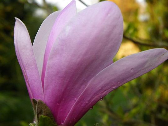 Magnolia (Magnolia campbellii (Campbell's magnolia))