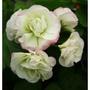 Geranium 'Appleblossom Rosebud' (Geranium 'Appleblossom Rosebud')